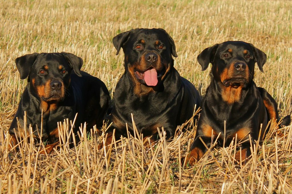 3 rottweiler dogs #2018 #2017 #Unisex #Short #White #Husky #Food #Military #Nature #Little #Boho #Bernese Mountain #Greek #List #Popular #Golden Retriever #Cutest #French #Rare #Rustic #Lab #Weird #With Meaning #Awesome #Meaningful #Brown #Italian #Different #Preppy #Celebrity
