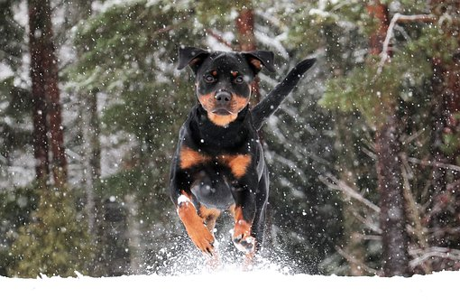 Rottweiler #Male #Female #Unique #Strong #Boy #Girl #Disney #Southern #Tough #Hunting #Funny #Badass #Cool #Country #Hipster #Cute #Creative #Black #From Movies #Big
