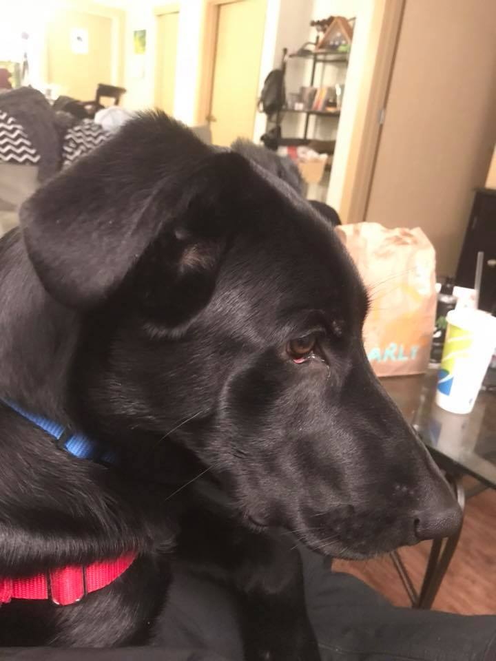Our handsome baby Cooper at 6 months old and 64lbs black labrottie mix, black lab mix, rottweiler mix #puppy #training #dogs #animals #black #white #blacklabs #sweets #pets #faces #rottweilers #baby #doggies #beautiful