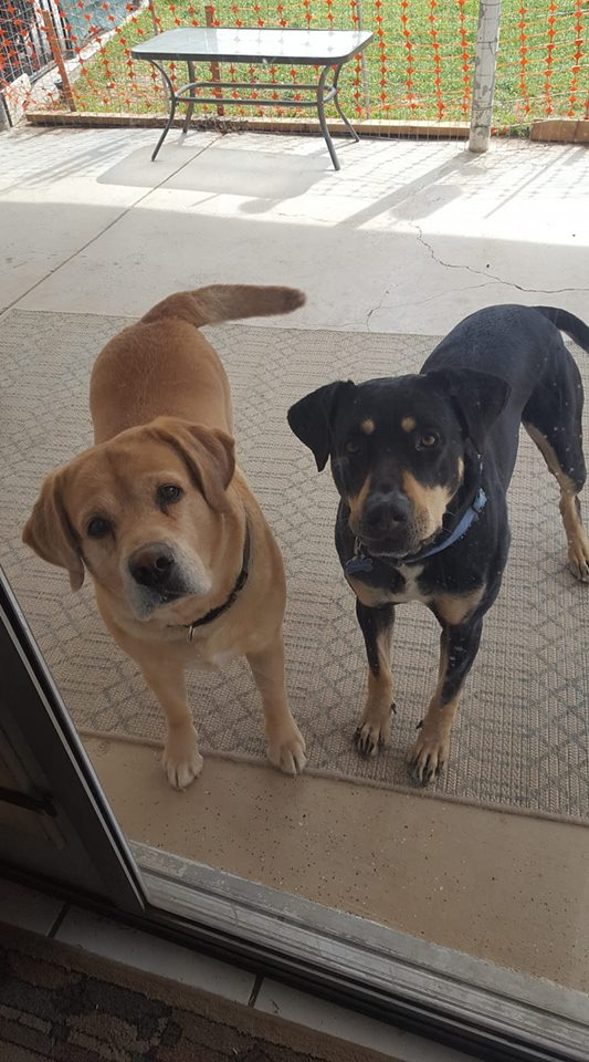 light colored labrottie, black and brown labrottie, Two Labrotties - One light Brown, the Other Black and Brown #labrottie#puppy #training #dogs #animals #black #white #blacklabs #sweets #pets #faces #rottweilers #baby #doggies #beautiful #puppy #funny #german #rottweilers #facts #names Training #mix #quotes #photography #tattoo #Memes #Art #american #Albino #attack #big #withtail #Care #cute #aesthetic #husky #signs #dog #drawing #andkids #tips #female #clothes #scary #pitbull #forsale #collar #mean #painting #wallpaper #lab #dobermancross